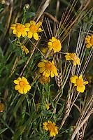 Saat-Wucherblume, Saatwucherblume, Wucherblume, in einem Getreidefeld, Glebionis segetum, Chrysanthemum segetum, Corn Marigold