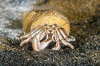Longwrist Hermit Crab, Pagurus longicarpus, Rockport, Massachusetts, USA, Atlantic Ocean, inhabits sandy areas