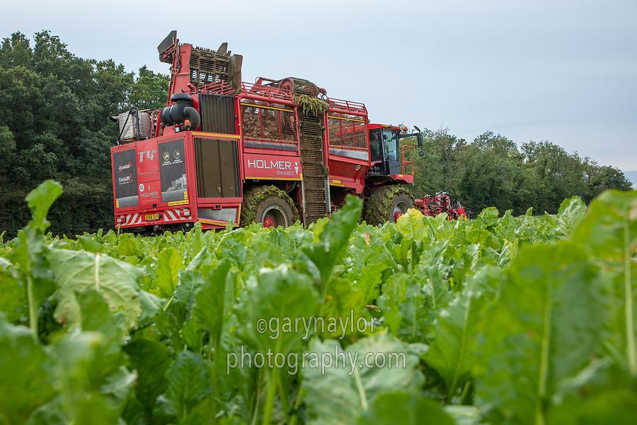 Harvesting sugar beet - licolnshire, October
