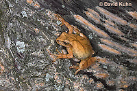 0302-0902  Spring Peeper Frog Climbing Tree Bark, Pseudacris crucifer (formerly: Hyla crucifer)  © David Kuhn/Dwight Kuhn Photography