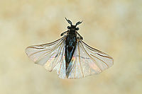 Fächerflügler, gefügeltes Männchen, die Art parasitiert an Wildbiene, Sandbiene, Andrena, Parasit, Parasitismus, Stylops melittae, Strepsiptera, Neoptera, twisted-wing parasites, Les strepsiptères