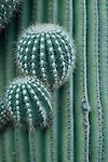 New arms starting to grow on the saquaro cactus