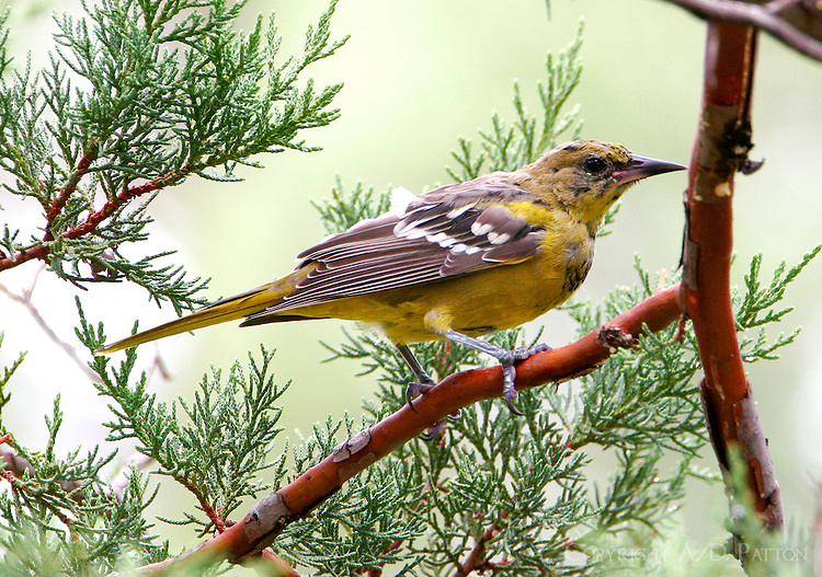 Juvenile Scott's oriole in August at Fort Davis, TX