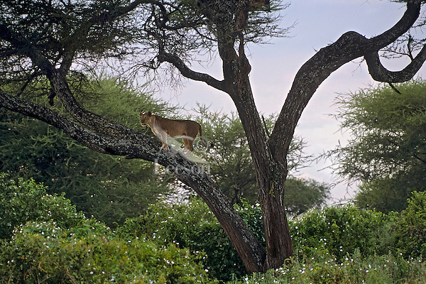 African lioness or female african lion (Panthera leo) up in tree.  Tanzania.