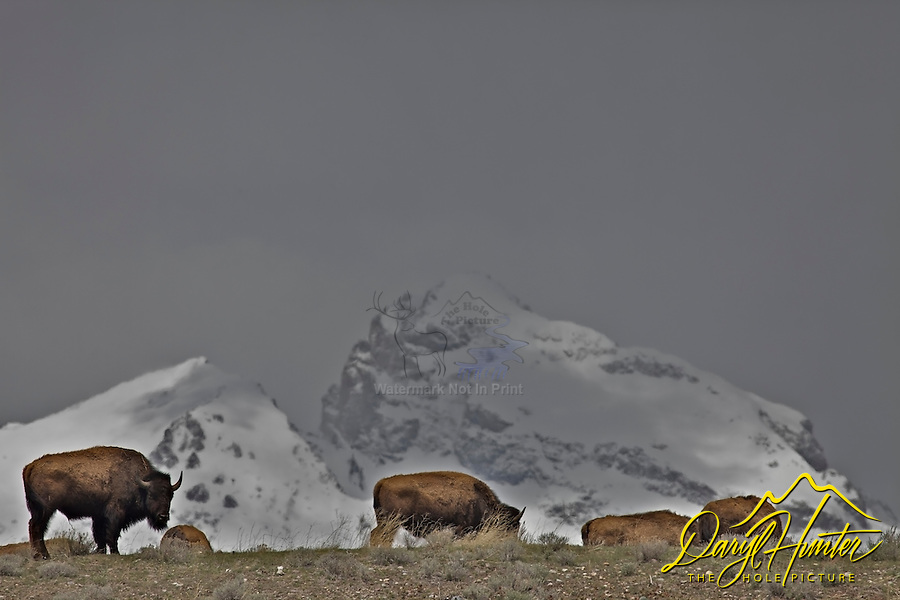 Bison; Grand Tetons; Jackson Hole; Wyoming
