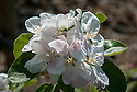 """Blossom of Apple 'Peasgood's Nonsuch', early May. A large apple that when ripe is crisp, juicy, and refreshing and can be eaten raw, but also cooks well. First raised by Mrs Peasgood in Lincolnshire and acclaimed by the RHS in 1872 as """"one of the most handsome apples in cultivation"""". It certainly is."""