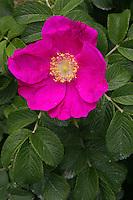 Pink Rugosa Rose