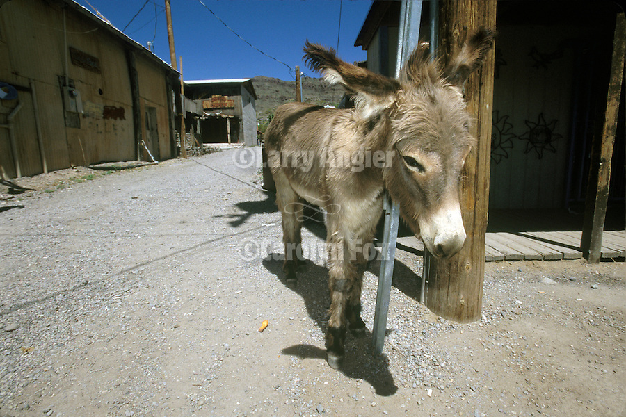 A town jackass hangs around an alley in Oatman, Ariz.