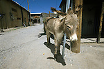A town jackass hangs around an alley in Oatman, Ariz.