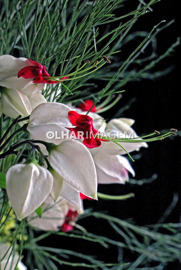 Flores. Lágrima-de-cristo ( Clerodendrum thomsonae). SP. Foto de Manuel Lourenço.