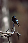 Tree Swallow perched on a branch.