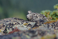 Adult female White-tailed Ptarmigan (White-tailed Ptarmigan) camouflaged amongst lichen encrusted alpine rocks. This species undergoes almost continuous molt from spring until fall resulting in a variety of plumages that match the species changing alpine environment. Central Cascades, Washington. September.