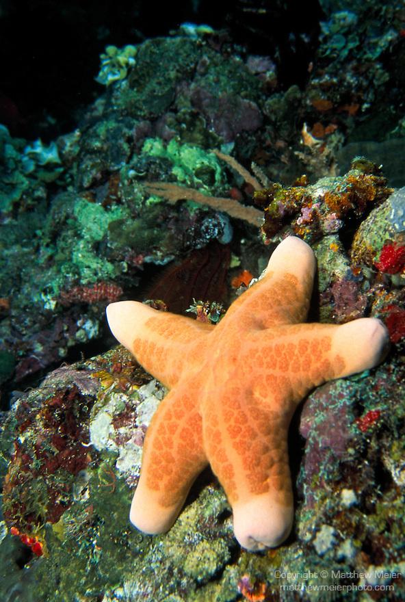 Milne Bay, Papua New Guinea; Cushion Star (Choriaster granulatus), Oreasteridae family, legs to 30 cm (12 in.) , Copyright © Matthew Meier, matthewmeierphoto.com All Rights Reserved