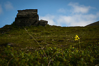Alpine Arnica on the tundra near Nome, Alaska. Photo by James R. Evans