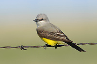 Adult Western Kingbird (Tyrannus verticalis) on fence. Southeast Alberta, Canada. May.