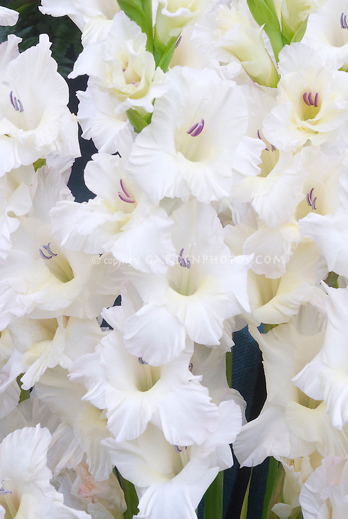 Gladioli white properity summer bulb plant flower stock gladiolus white prosperity summer flowering bulb with white flowers gladioli mightylinksfo