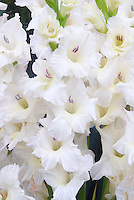 Gladiolus White Prosperity summer flowering bulb with white flowers gladioli