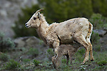 A newborn bighorn sheep lamb nurses in Yellowstone National Park, May 30 2011. Photo by Gus Curtis.