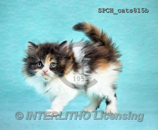 Xavier, ANIMALS, REALISTISCHE TIERE, ANIMALES REALISTICOS, cats, photos+++++,SPCHCATS815B,#A#