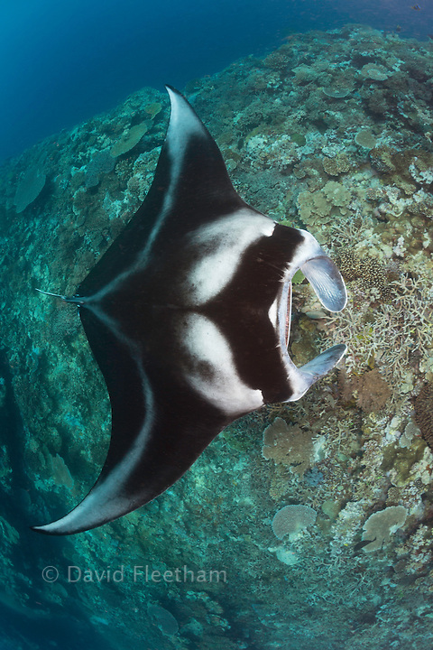 A manta ray, Manta alfredi, gets close to the reef to be inspected by small cleaner wrasse, Fiji.