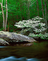 Great Smoky Mountains National Park, TN/NC<br /> Flowering dogwood tree drapes over lichen covered boulders on the banks of the Middle Prong Little River in Spring