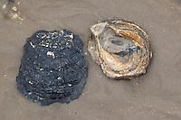 Europäische Auster, Schale, Muschelschale am Strand, Spülsaum, Ostrea edulis, European flat oyster, Colchester native oyster, mud oyster, edible oyster, Huître plate