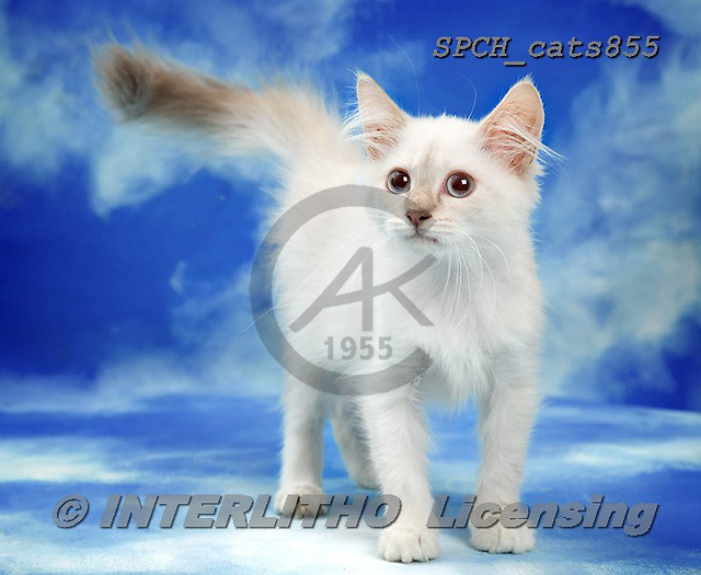 Xavier, ANIMALS, REALISTISCHE TIERE, ANIMALES REALISTICOS, cats, photos+++++,SPCHCATS855,#a#