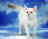 Xavier, ANIMALS, REALISTISCHE TIERE, ANIMALES REALISTICOS, cats, photos+++++,SPCHCATS855,#a#