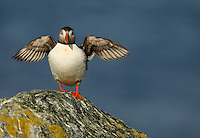Atlantic Puffin Fratercula arctica stretching its wings on top of a cliff, Sule Skerry, Scotland, UK