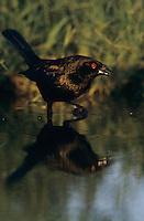 Bronzed Cowbird, Molothrus aeneus, male, Welder Wildlife Refuge, Sinton, Texas, USA