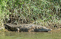 American crocodile, Crocodylus acutus, basking at the edge of the Tarcoles River, Costa Rica