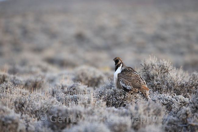 Greater Sage-Grouse (Centrocercus urophasianus). Sublette County, Wyoming. April.