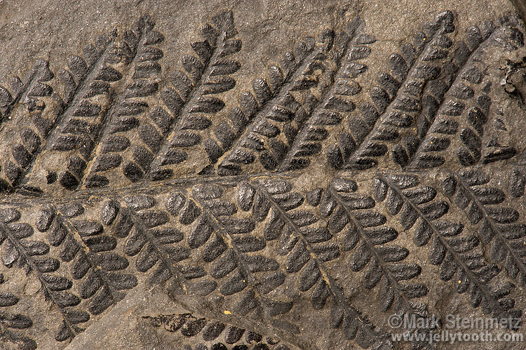 Fossil fern. Pecopteris oreopteroides (Schlotheim). Pennsylvanian. Locality unknown. Pecopteris was an extensive form genus of ferns that flourished in the early Carboniferous period.