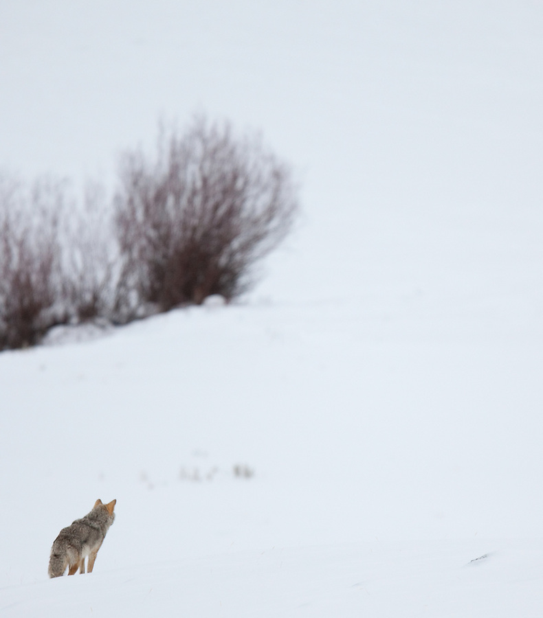 An individual coyote looks out over the snowy landscape in Yellowstone National Park.