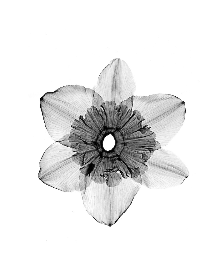 Xray open Daffodil blossom