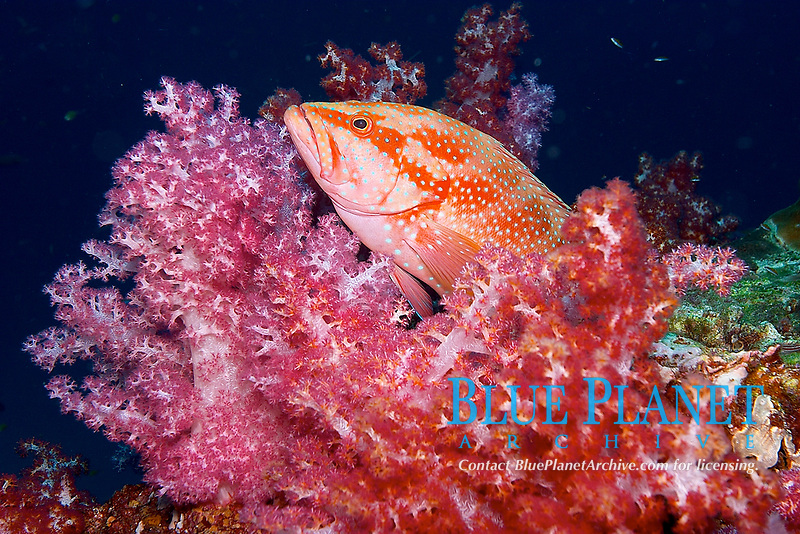 Jewel coral grouper / cod, Cephalopholis miniata, in red dendronepthya soft coral, Hin Daeng , red rock, Andaman sea, Indian Ocean, Thailand, Asia