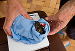 Weighing and measuring microchipped Spectacled Flying Fox orphans at the Tolga Bat Hospital (Pteropus conspicillatus)