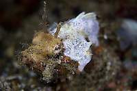 a rare seen scorpionfish variation in the Lembeh Strait