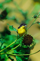 537160005 a wild male lesser goldfinch cadruelis psaltris perches on a dried sunflower blossom in the rio grande valley of south texas