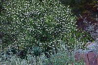 Styrax officinalis var. redivivus Snowdrop Bush, flowering California native shrub; Regional Parks Botanic Garden, Berkeley, California