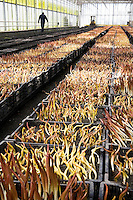 Tulip bulbs forced sprouting at Sun Valley Floral Farm, Arcata California. Crates recently removed from cold storage.