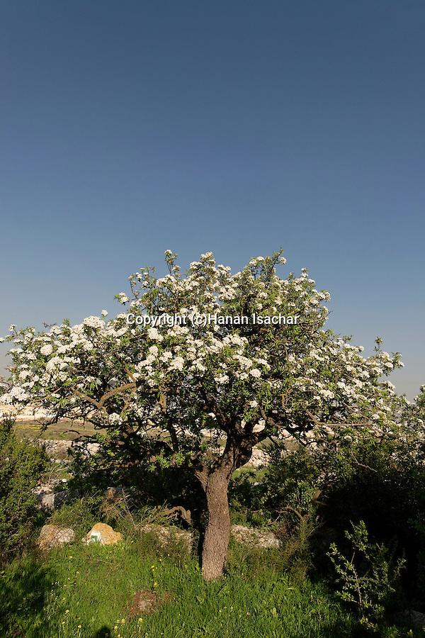 Israel, Shephela region. Syrian Pear tree in Modiin