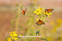 03536-05013 Three Monarch butterflies (Danaus plexippus) on Butterweed (Senecio glabellus) Prairie Ridge State Natural Area, Marion Co., IL