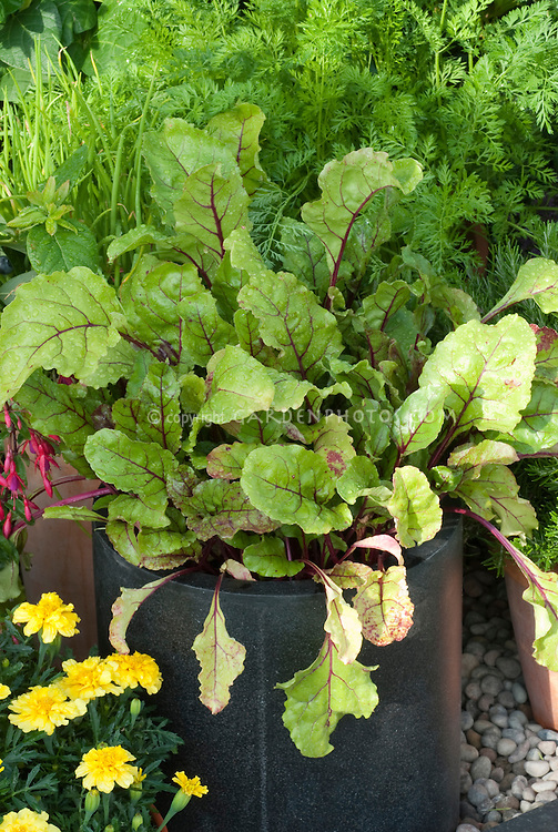 Leaf beet in vegetable container garden with yellow marigolds