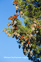 03536-05818 Monarch Butterflies (Danus plexippus) roosting in Eastern Red Cedar (Juniperus virginiana)  Prairie Ridge State Natural Area, Marion Co., IL