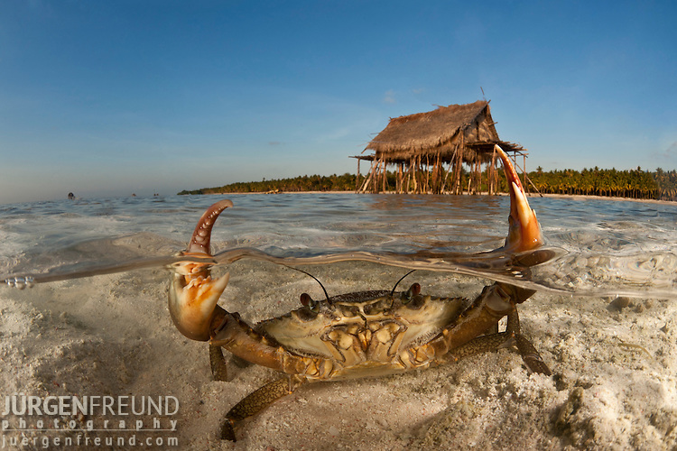 Mud crab in shallow sandy waters split level with island and thatched house on stilts.