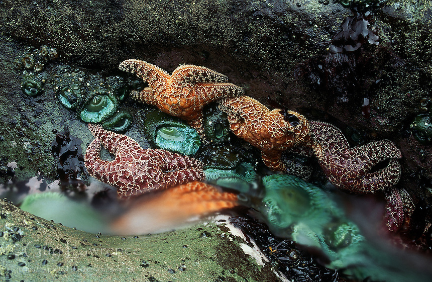 water draining from tide pool on the Washington State coast. Giant green anemones and ochre sea stars.