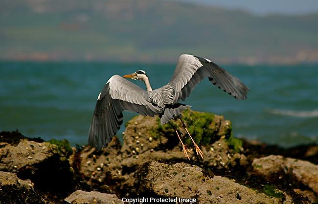 Gray Heron near Malahide, Ireland