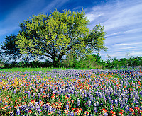 Texas Paintbrush and Bluebonnets in meadow with single oak tree, Hill Country, Marble Falls, Texas