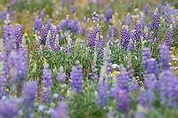 Purple lupine(Lupinus argenteus)